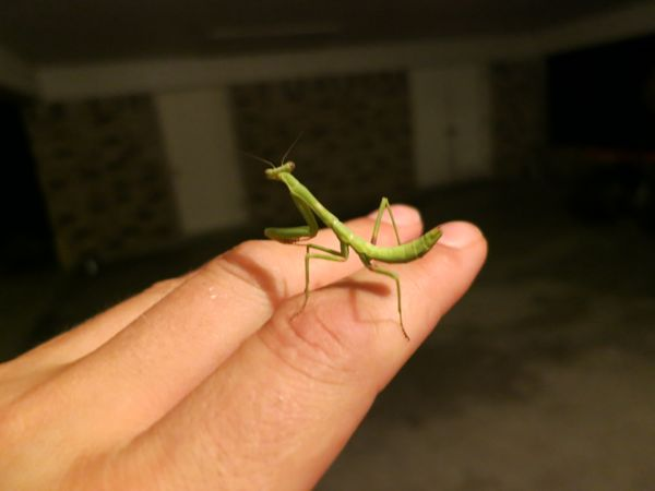 2013-08-04 Praying Mantis.jpg