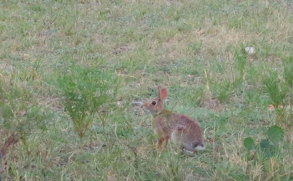 2013-08-13 CottonTails.jpg