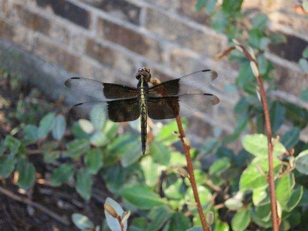 2013-08-05 Dragon Flies 01.jpg