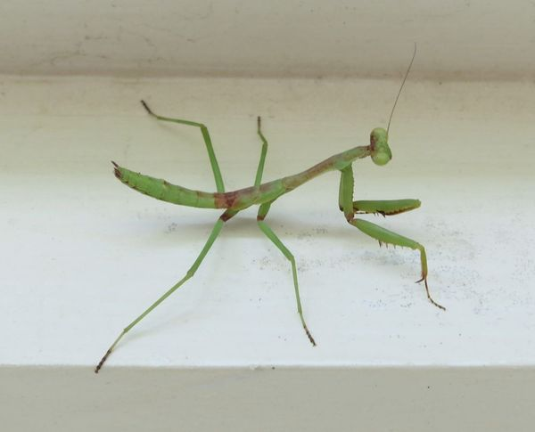 2013-08-01 Praying Mantis 01.png